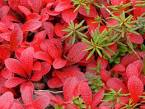 red bearberry