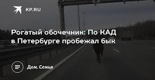Рогатый обочечник: По КАД в Петербурге пробежал бык