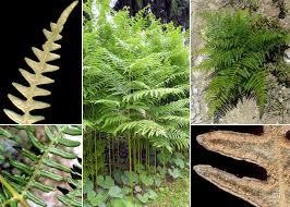 Pteridium aquilinum (L.) Kuhn subsp. aquilinum - Sistema ...