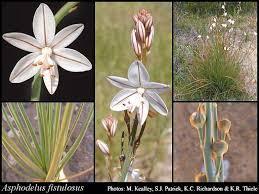 Asphodelus fistulosus L.: FloraBase: Flora of Western Australia