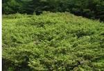 juniperus communis depressa