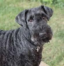 Γιατί χρησιμοποιείται ο Kerry Blue Terrier;
