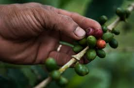 Image result for coffee plantation mosquito bites