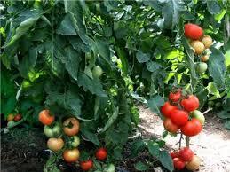 кустовые томаты