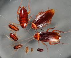 Oryantal Hamam Böceği, Oryantal-Hamam-Böceği, hamam böceği ilaçlama, hamam-böceği-ilaçlama, istanbul-hamam-böceği-ilaçlama