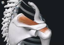 「回旋筋腱板」の画像検索結果