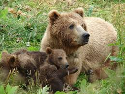Αποτέλεσμα εικόνας για αρκουδα