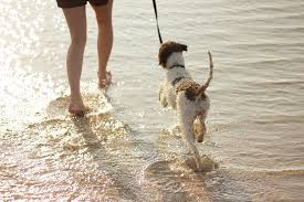Image result for beach dog walking