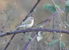oxon birding blog abingdon sewage works siberian chiffchaffs one bird could appear quite colourful in some lights and the other was browner and more contrasting a whiter super one gave a good plaintive tristis