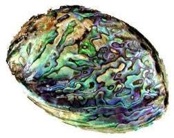 """Résultat de recherche d'images pour """"ormeau coquillage"""""""