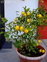 lemon tree x: meyers lemon tree valley lemon improved meyer citrus x meyeri