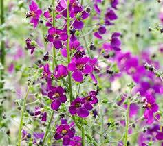 Verbascum phoeniceum 'Violetta' (Mullein)