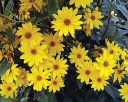 Image result for false sunflower