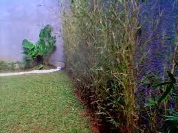 daftar harga tumbuhan hias bambu telisik kuning Daftar harga tumbuhan bambu kuning cina