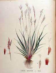 File:Carex digitata — Flora Batava — Volume v18.jpg - Wikimedia ...
