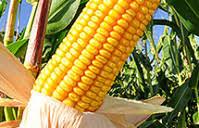Produkcja Rolnicza -Roślinna