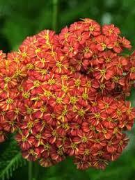 Achillea Perennials, Plants