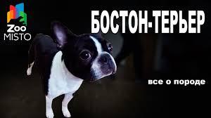 Все о породе собаки | Собака породы - <b>Бостон</b>-<b>терьер</b> - YouTube