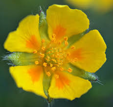 Potentilla crantzii - The Flora of Svalbard