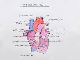 how to draw the internal structure of the heart pictures