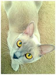 The eyes have it. Bo, 1 year old lilac <b>Burmese kitten</b>   Burmese ...