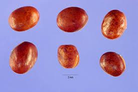 Plants Profile for Lathyrus pratensis (meadow pea)