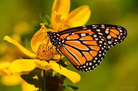 Resultado de imagen de mariposa monarca