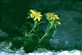 Hieracium lucidum - Wikipedia