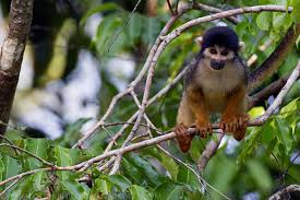 Black squirrel monkey