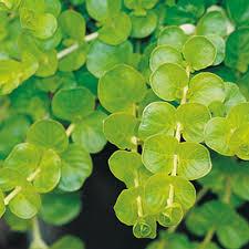 Goldilocks - Creeping Jenny - Lysimachia nummularia | Proven ...