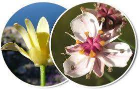 Clypeola jonthlaspi L. - Portale sulla flora del basso corso del ...