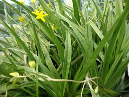 Image result for Yellow Star Grass