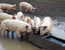 Image result for Pigs at trough