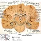 Images & Illustrations of corpus geniculatum laterale