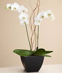 day orchid decor: potted double stem white orchid  potted double stem white orchid