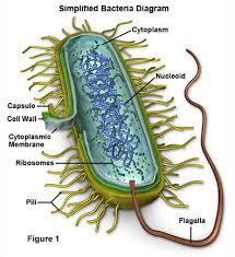 bacteria   organicsoiltechnologysimplified bacteria diagram
