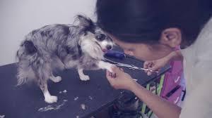 Как подстричь собаку в домашних условиях | Чихуахуа Софи ...