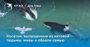 Косатки, выпущенные из китовой тюрьмы, живы и обрели семью