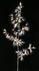 Tricholaena teneriffae (L.f.) Link   Flora of Israel Online