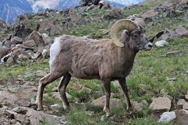 heart country sheep  px new mexico bighorn sheepjpg