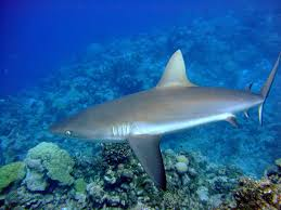 two spearfisherman fought shark tracking sharks a female grey reef shark off wake island pifsc noaa
