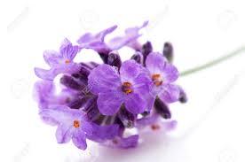 Resultat d'imatges de lavanda flor