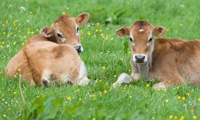 Image result for cows