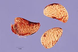 Plants Profile for Rubus caesius (European dewberry)