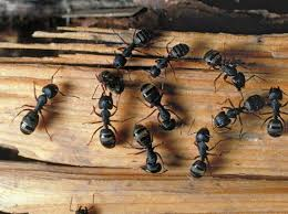 Carepenter Ants eating your home