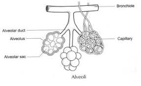 human respiratory system and it    s mechanism    diagram alveoli