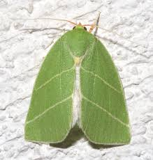 Chloephorinae
