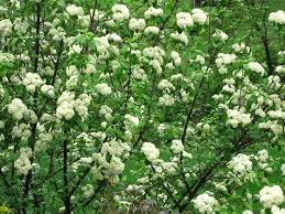Image result for black haw viburnum