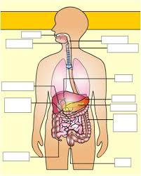 http://www.softschools.com/science/human_body/digestive_system/