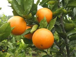 「甜橙」的圖片搜尋結果